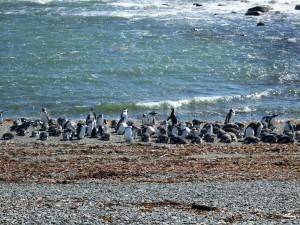 pingouins réserve Magellans